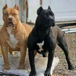 American Pit Bull Terriers