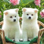 Akita Pups