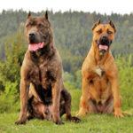 Am. Bandogge Mastiff