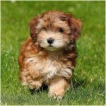 Havanese Pup