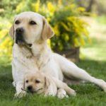 Labradors sable