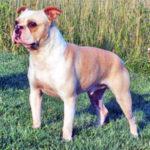 Olde Boston Bulldogge