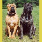 American Bandogge Mastiff