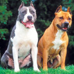 Am. Staffordshire Terrier