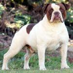 Campeiro Bulldog