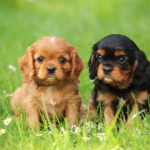 Cavalier Spaniel Pups