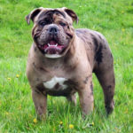 Olde English Bulldogge