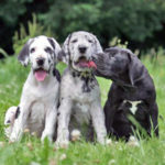 Great Dane Pups