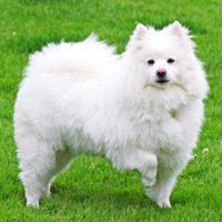 American Eskimo Dog - Standard