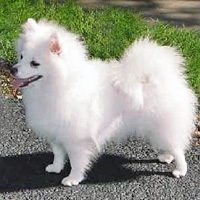 American Eskimo Dog - Toy