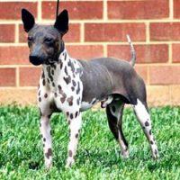 Am. Hairless Terrier