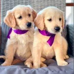 golden_retriever_pups