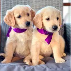 golden_retriever_pups