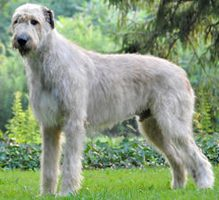 irish_wolfhound_0_200