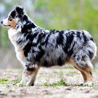 Min. Australian Shepherd