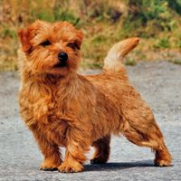 norfolk_terrier_200