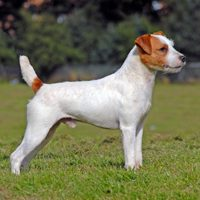 parson_russell_terrier_200