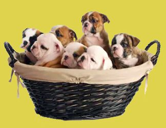 Click to view pups available