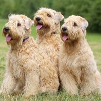 Wheaten Terrier
