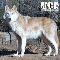 wolf_hybrid_200